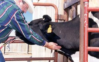 cách bơm thuốc vào dạ dày bò