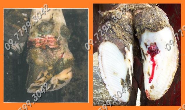 bệnh viêm móng bò