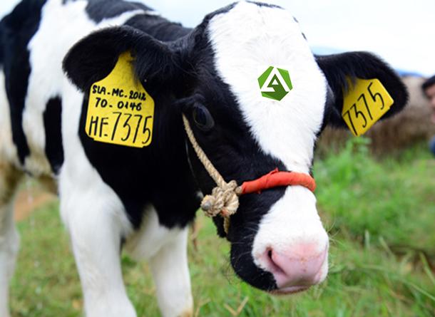 thẻ tai cho bò