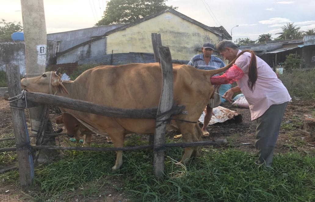 phối tinh nhân tạo bò