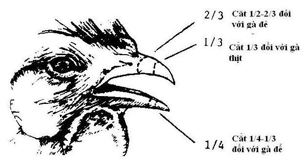 cách cắt mỏ gà