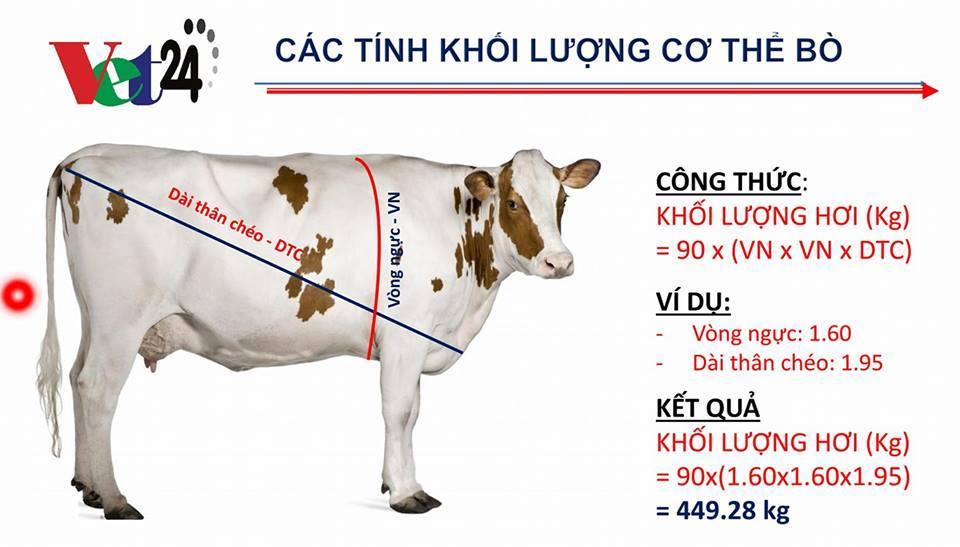 cách đo thể trọng bò