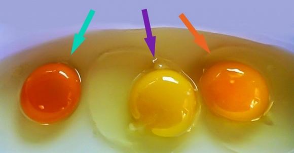 quạt so màu lòng đỏ trứng
