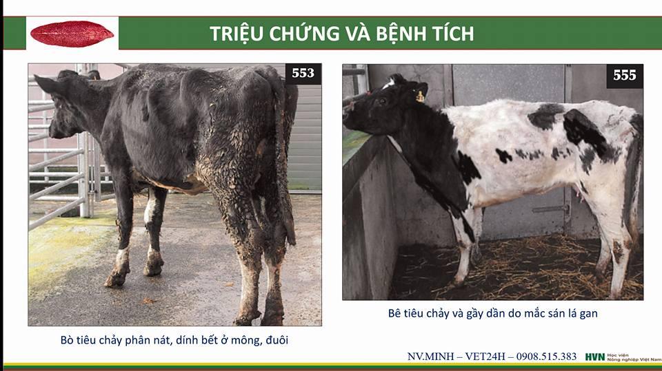 bệnh sán lá ở bò