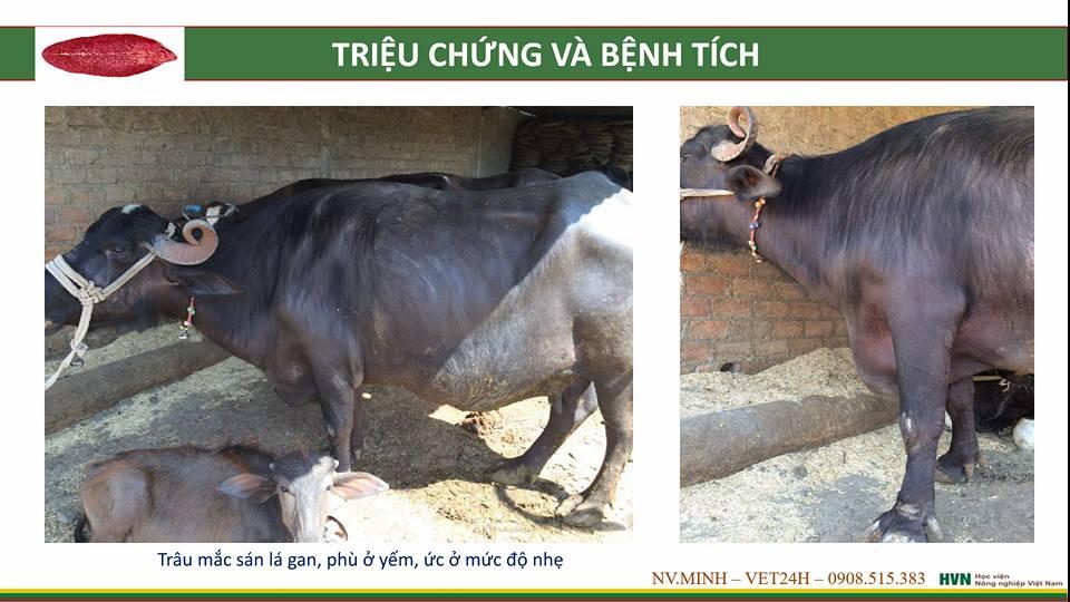 phòng và điều trị bệnh sán lá ở bò