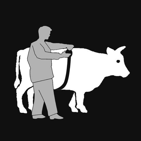 Thước đo thể trọng bò